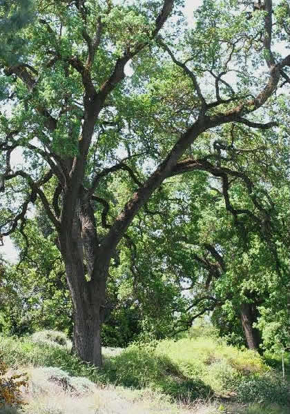 What Kind Of Grass Will Grow Under Oak Trees : Looking for recommendations explore our plant collection page