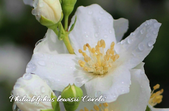 Philadelphus Covelo