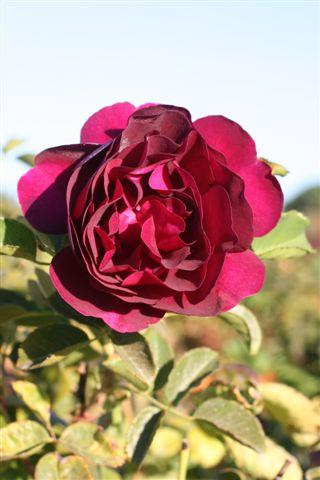 ROSA TWILIGHT ZONE GR STD 5