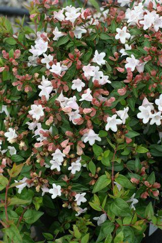 Plant Catalog Abelia Edward Goucher