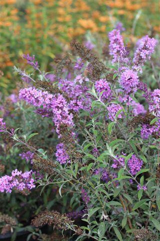 BUDDLEJA D NANHO PURPLE