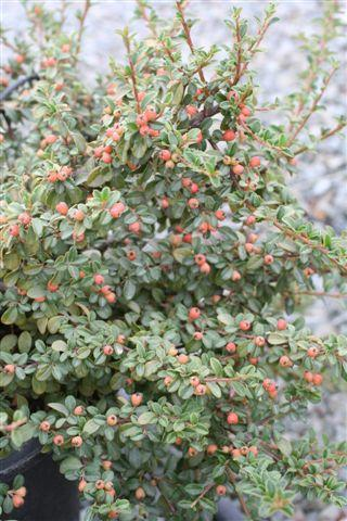 COTONEASTER DAM CORAL BEAUTY