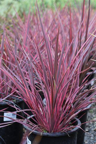 CORDYLINE B ELECTRIC PINK
