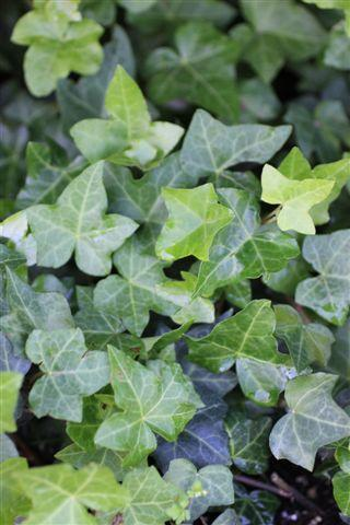 HEDERA HELIX HAHNII (HAHNS)