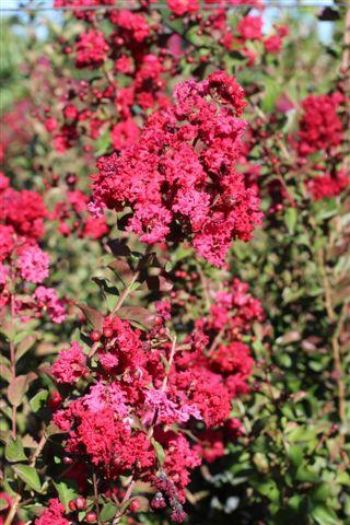 LAGERSTROEMIA RED ROCKET MULTI