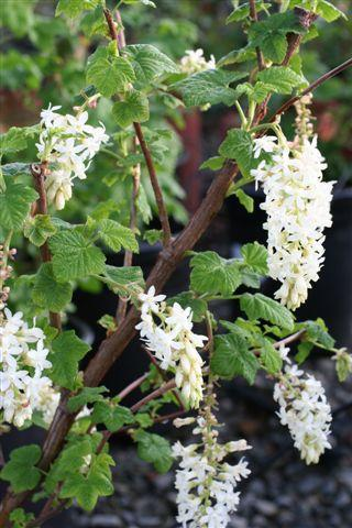 RIBES SANG WHITE ICICLE