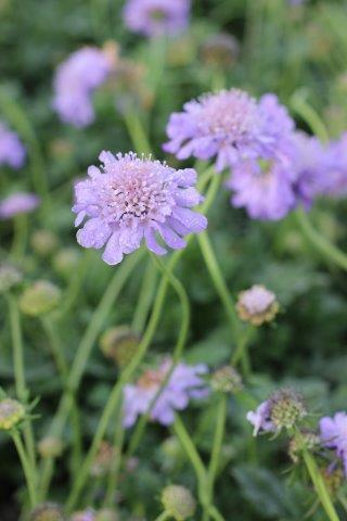 SCABIOSA COLUM BUTTERFLY BLUE