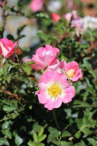 ROSA CAREFREE DELIGHT SH 5