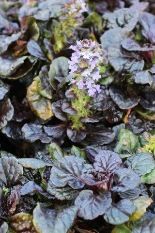 AJUGA R BLACK SCALLOP