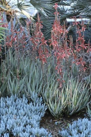 ALOE BLUE ELF