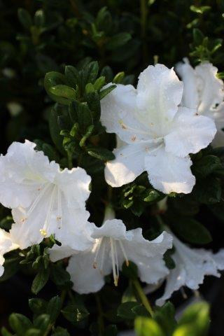 AZALEA REBLOOM WHITE NOBILITY 3