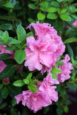 AZALEA AUTUMN CARNATION (PNK)