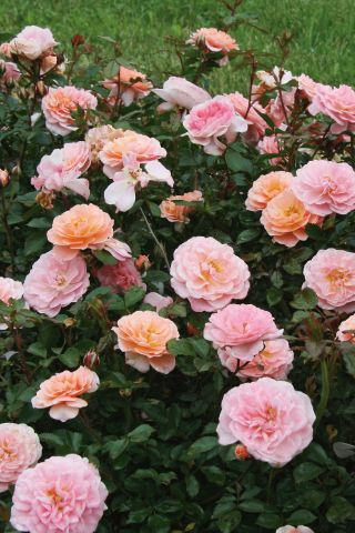 ROSA DRIFT APRICOT GC