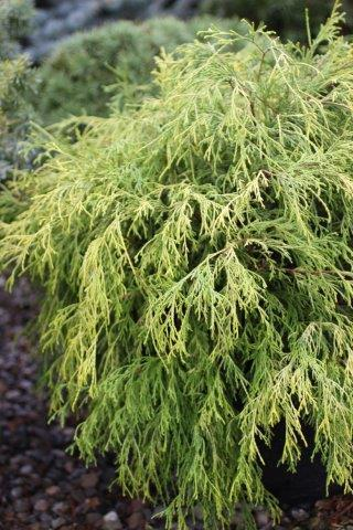 CHAMAECYPARIS PISIFERA GOLDEN MOPS