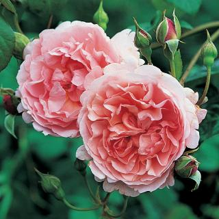 ROSA STRAWBERRY HILL DA 5