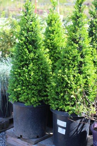 Plant Catalog Buxus M J Green Beauty Cone