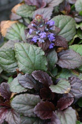 AJUGA R BRONZE BEAUTY 4""