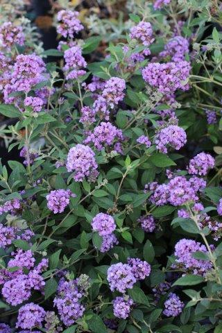BUDDLEJA LO & BEHOLD BLUE CHIP