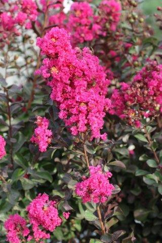 LAGERSTROEMIA PINK VELOUR STD