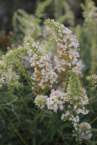BUDDLEJA D WHITE BOUQUET