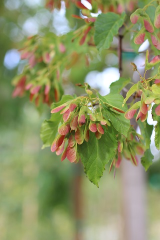 ACER GINNALA RUBY SLIPPERS