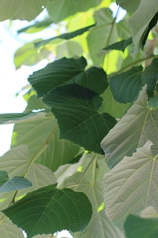TILIA TOMENTOSA STERLING