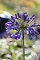AGAPANTHUS BRILLIANT BLUE 1