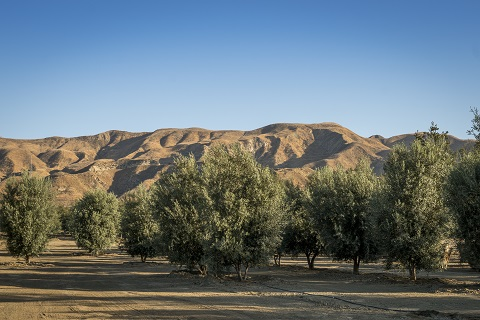 SWAN HILL OLIVES® TREE