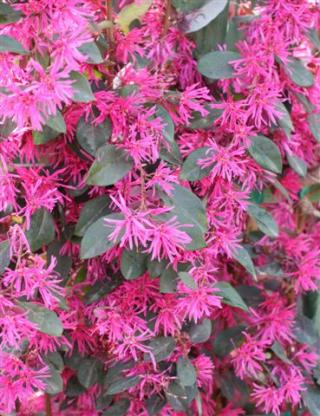 Plant Catalog Loropetalum Purple Majesty Stk 5